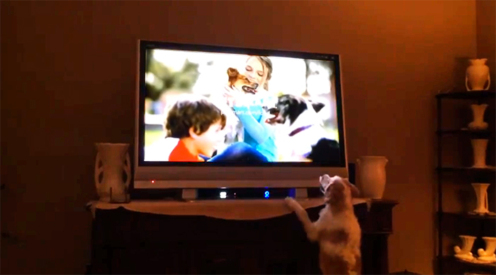 dog barking at tv set playing pet supply commercial. video by Linda Sherman
