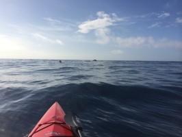approaching whales on kayak in Kauai
